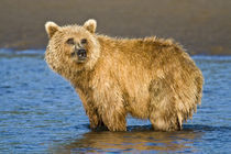 Brown Bear searching for salmon at Silver Salmon Creek, Lake Clark NP, Alaska. by Danita Delimont