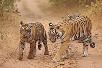 Royal Bengal Tigers on the move, Ranthambhor National Park, India. by Danita Delimont