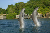 Dolphins jumping, Roatan, Bay Islands, Honduras by Danita Delimont