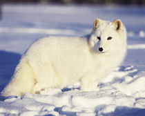 USA, Alaska. Arctic fox in winter coat. Credit as by Danita Delimont