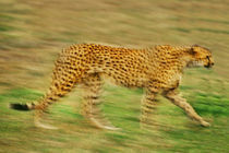 Cheetah in motion, Acinonyx jubatus, Masai Mara Reserve, Kenya by Danita Delimont