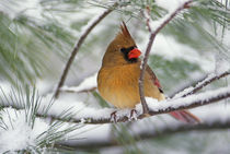 Female Northern Cardinal in snowy pine tree   by Danita Delimont