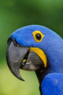 Hyacinth macaw, Anodorhynchus hyacinthinus, Pantanal, Brazil by Danita Delimont