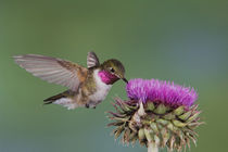 Broad-tailed Hummingbird by Danita Delimont