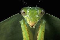 CA, Panama, Barro Colorado Island Praying mantis (Mantidae family) von Danita Delimont