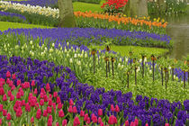 Pattern of tulips hyacinth and Grape Hyacinth flowers, Keukenhof Gardens by Danita Delimont