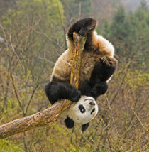 Wolong Panda Reserve, China, 2 1/2 yr old panda upside down on tree snag by Danita Delimont