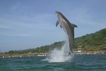 Dolphin jumping, Roatan, Bay Islands, Honduras by Danita Delimont