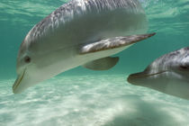 Bottlenose Dolphins Carribean Sea near Roatan, Honduras by Danita Delimont