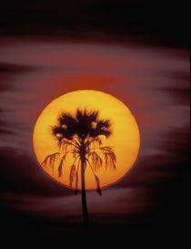 Africa, Botswana, Okavango Delta, Ngamiland. Sunset and palm von Danita Delimont