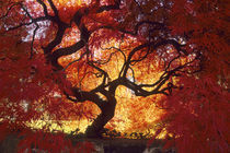 Connecticut: Darien, Japanese maple ('Acer palmatum'), October. by Danita Delimont