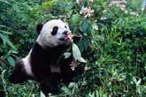 Panda cub in the forest, Wolong, Sichuan, China by Danita Delimont