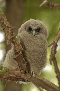 Oreogn, Coast Range, a Northern Spotted Owl (Strix occidentalis) fledgling by Danita Delimont