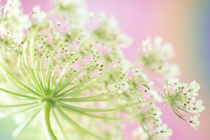 USA, Washington, Close-up of cow parsnip flower with colorful background von Danita Delimont