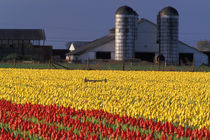 NA, USA, Washington, Skagit Valley, Field of tulips and barn with silos von Danita Delimont