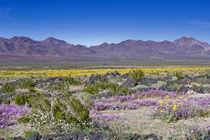 Sand Verbena & Desert Gold at Amboy Crater, CA, USA von Danita Delimont