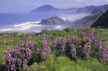 N.A., USA, Oregon, Nesika Beach Lupine and Oregon coastline by Danita Delimont