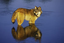Gray Wolf or Timber Wolf, Canis lupis von Danita Delimont