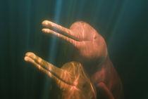 Boto, or Amazon River Dolphin (Inia geoffrensis) WILD, Rio Negro, BRAZIL von Danita Delimont