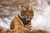 Royal Bengal Tiger - a close up, Ranthambhor National Park, India. by Danita Delimont