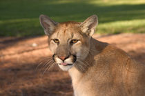 USA, Florida, panther, (Felis concolor), puma, cougar, endangered, cat, captive by Danita Delimont