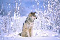 Timber Wolf sitting in the Snow Canis lupus Movie Animal (Utah) by Danita Delimont