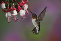 Male Ruby throated Hummingbird, Archilochus colubris, Kentucky von Danita Delimont