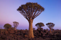 AFRICA, Namibia, Quiver tree forest at dusk von Danita Delimont
