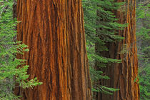 Giant Sequoia trunks in forest, Yosemite National Park, California von Danita Delimont