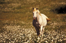 North America, USA, Oregon. Horse in a field of daisies von Danita Delimont