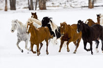 A winter scenic of running horses on The Hideout Ranch in Shell Wyoming. by Danita Delimont