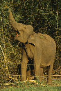 Asiatic elephant foraging on bamboo, Nagarahole National Park by Danita Delimont