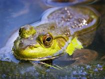 North America, USA, New Jersey, Far Hills, Leonard J. Buck Garden. Bullfrog by Danita Delimont
