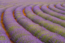 France, Provence region. Curved rows of lavender near the village of Sault, by Danita Delimont