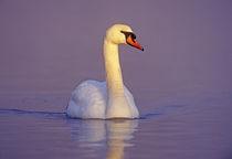 Mute Swan, Cygnus olor,male, Unterlunkhofen, Switzerland, Dezember 1998 von Danita Delimont