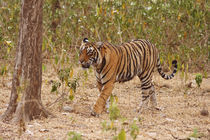 Royal Bengal Tiger moving around the bush, Ranthambhor National Park, India. by Danita Delimont