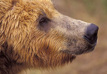 North America, USA, Alaska, Katmai NP. Brown bear (Ursus arctos) by Danita Delimont