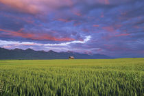 Barn amonst Wheat Field in the Mission Valley of Montana von Danita Delimont