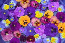 Pansy flowers floating in bird bath with dew drops on them, Sammamish Washington by Danita Delimont