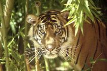 Sumatran Tiger (Panthera tigris sumatrae)USA by Danita Delimont