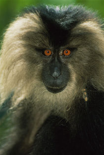 Lion-tailed macaque, Macaca silenus, India by Danita Delimont