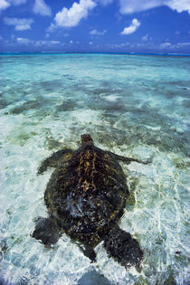 Green sea turtle in lagoon, Chelonia mydas, Hawaiian Leeward Islands by Danita Delimont