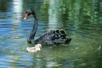 Black Swan and Cygnet, in Northern Territory of Australia by Danita Delimont