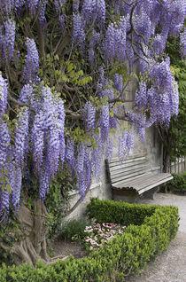 Europe, Austria, Salzburg Stadt, Salzburg, wisteria in Mirabell Garden by Danita Delimont