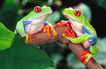 Red Eye Treefrog Pair, Agalychinis callidryas, Native to Central America by Danita Delimont