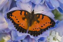 Sammamish Washington Tropical Butterfly photograph of Junonia octavia by Danita Delimont
