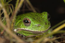 Close-up of a Barking treefrog by Danita Delimont