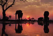 African elephants at sunset, Loxodonta africana, Botswana by Danita Delimont