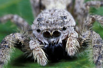 Metaphid Jumping spider (Metaphidippus sp) by Danita Delimont