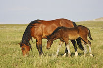 Feral Horse wild horse mother and colt grazing on prairie grass in the high by Danita Delimont